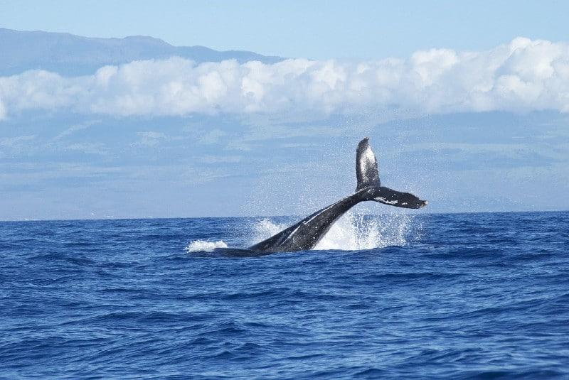 blue whale at sea